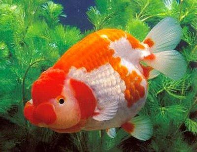 ikan emas koki